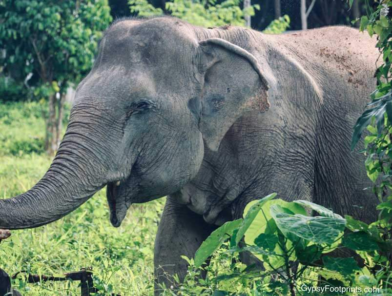 A Blind elephant at the Phuket Elephant Sanctuary, standing amongst the greenery of the reserve.