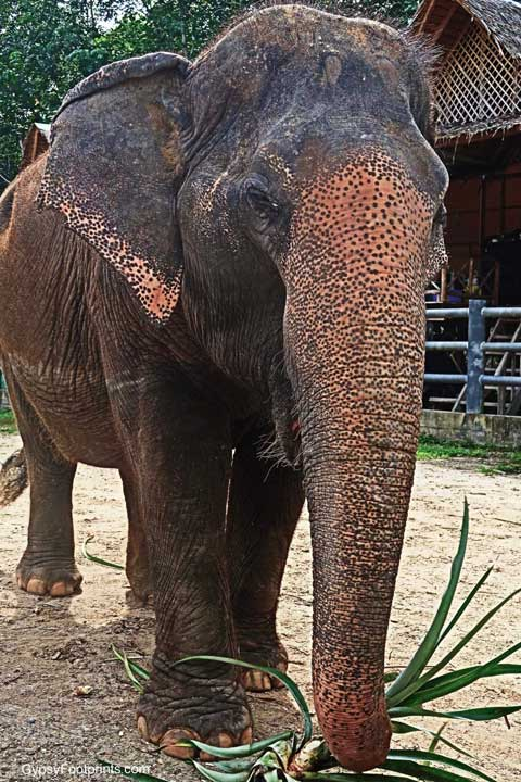 Closeup of and elephant eating palm fronds at Phuket Elephant Sanctuary.