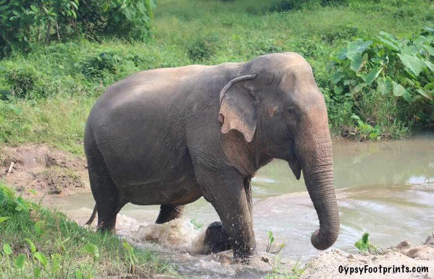 Feature image of and elephant walking through water.